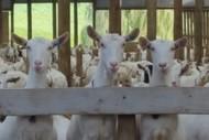 Goats Cheese Making Workshop.